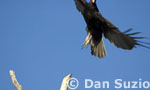 Turkey vulture, Carthartes aura