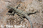 Ornate tree lizard, Urosaurus ornatus