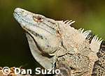 Ctenosaura similis, Black spiny-tailed iguana