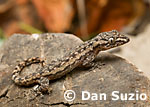 Hemidactylus frenatus, House gecko