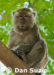 Macaca fasicularis, Long-tailed macaque