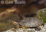 Western pond turtle, Clemmys marmorata