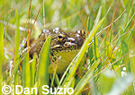 Mountain yellow-legged frog, Rana muscosa
