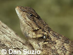 Western fence lizard, Sceloporus occidentalis