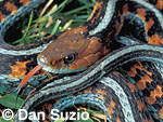 California red-sided garter snake, Thamnophis sirtalis infernalis